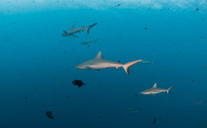 Scuba Travel, Diving Holidays,  Blue Corner, Palau