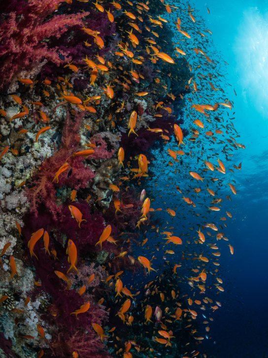 Scuba Travel, Red Sea, Anthias
