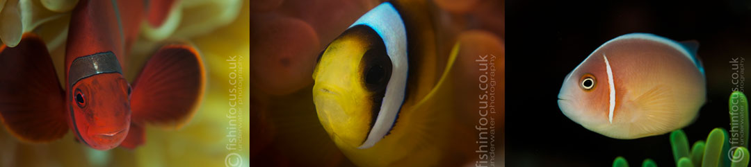 clownfish, Mario Vitalini, fishinfocus, Scuba Travel
