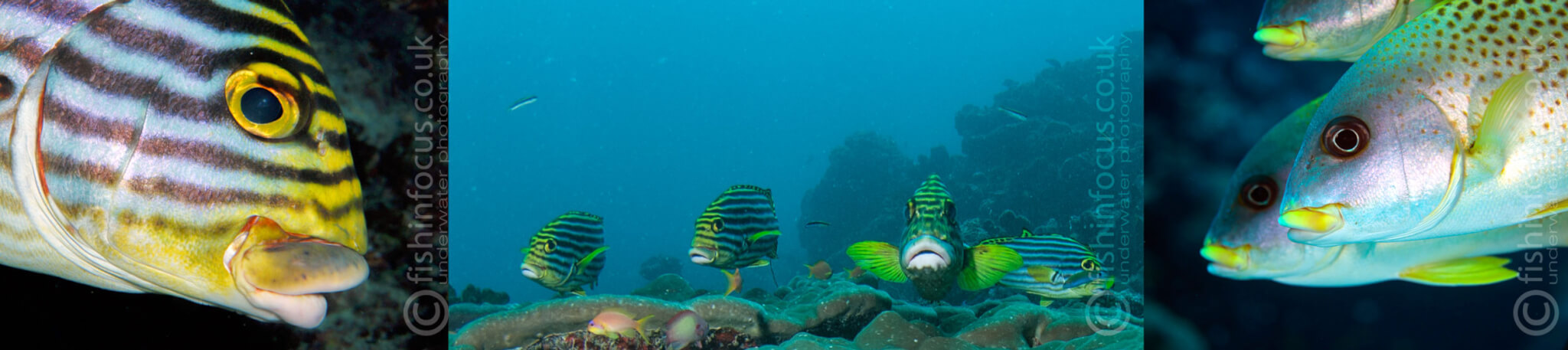Scuba Travel, sweetlips