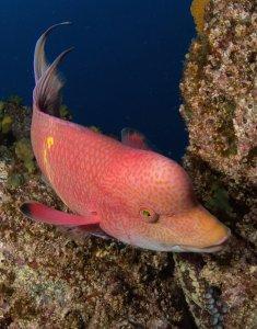 Scuba Travel, Socorro, Mexico, Mexican hogfish