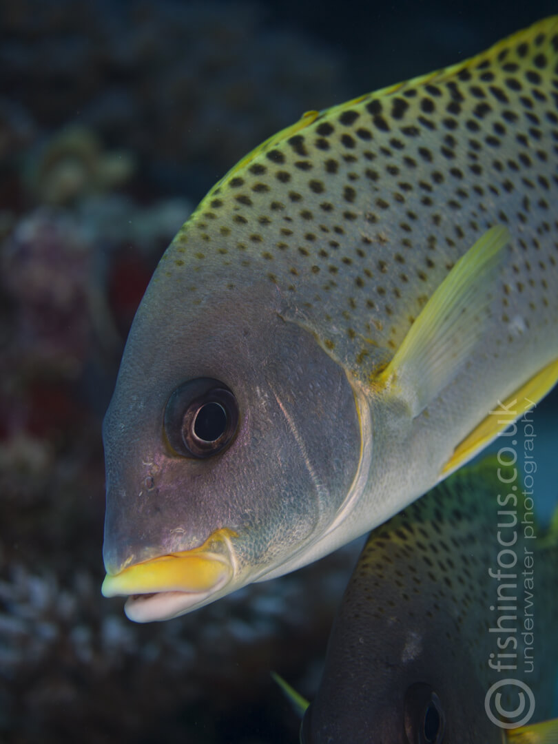 Sweetlips, Mario Vitalini, fishinfocus, Scuba Travel