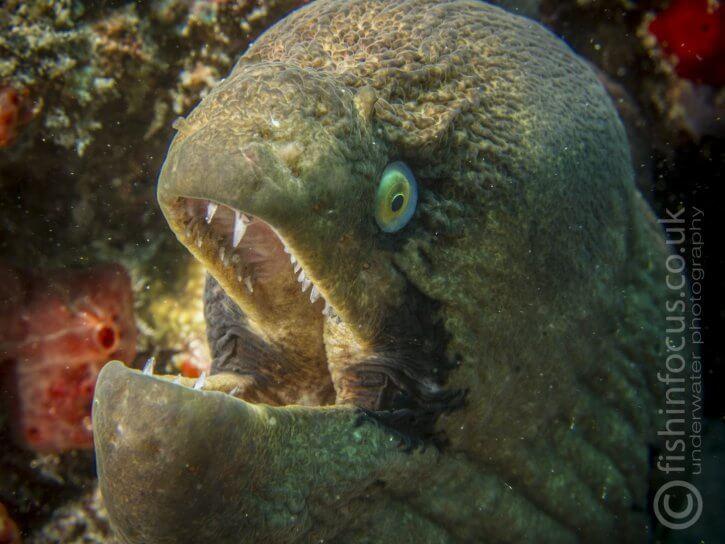 masked moray, Mario Vitalini, fishinfocus, Scuba Travel
