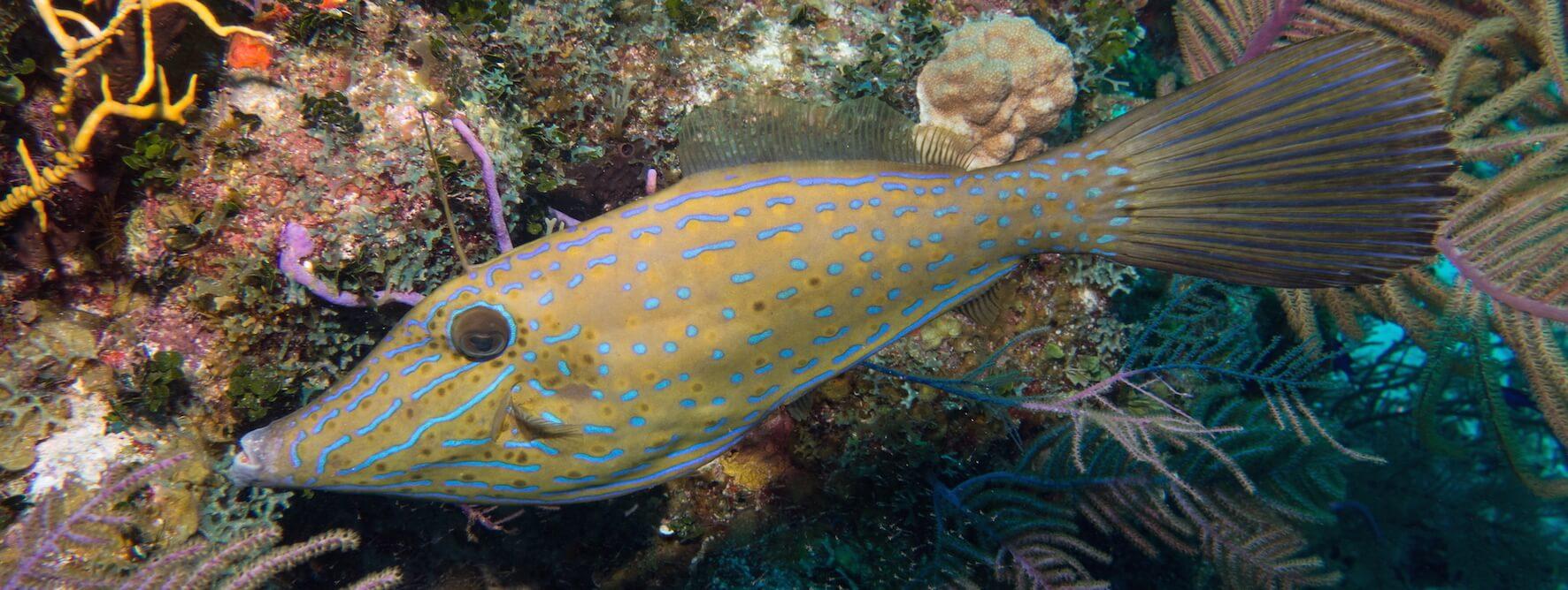 Scuba Travel, Scrawled Filefish