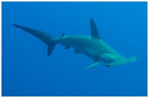 Scuba Travel. Red Sea, Daedalus, Hammerhead