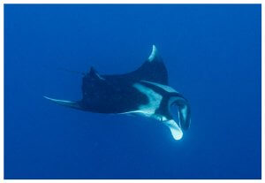Scuba Travel, manta, Red Sea, Daedalus