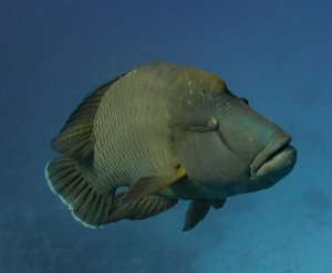 A Humphead wrasse approaches...