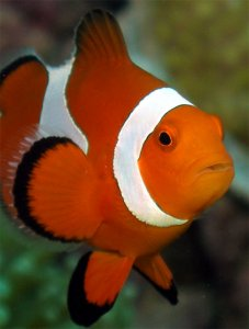 Scuba Travel, clownfish