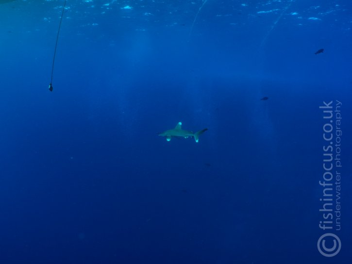 Oceanic Whitetip, Longimanus, Mario Vitalini, Scuba Travel