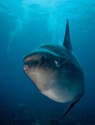 Scuba Travel, Mola Mola, Sunfish