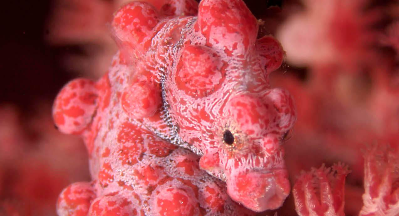 Scuba Travel, pygmy seahorse