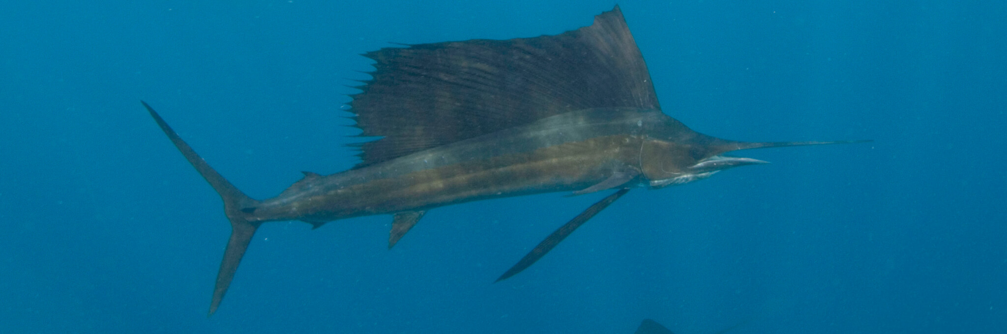 Scuba Travel, Sailfish