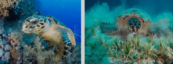 Scuba Travel, Turtle, Mario Vitalini, fishinfocus