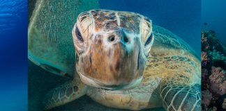 Scuba Travel, Turtle