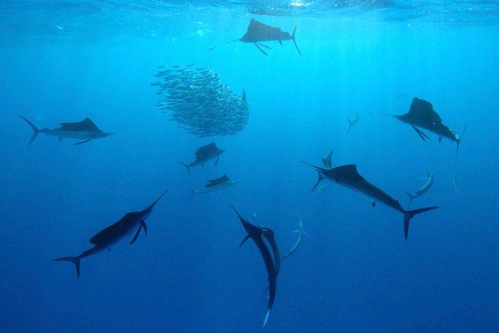 Scuba Travel, Sailfish