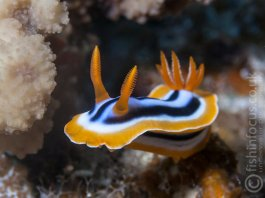 Scuba Travel, Red Sea, macro, Nudibranch, pyjama slug