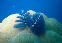 Scuba Travel, Christmas tree worm