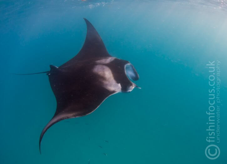 fishinfocus, Scubatravel, Mantaray