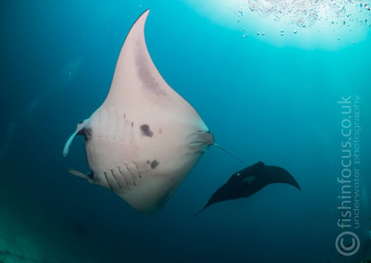 fishinfocus, Scubatravel, Mantas