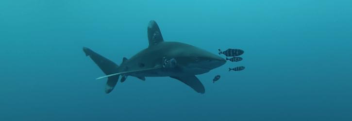 Scuba Travel. Red Sea, Egypt, Shark Quest