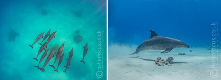 Scuba Travel, fishinfocus, dolphins, underwater photography