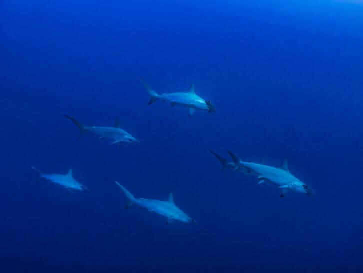 Scubatravel, Shark Quest, Hammerhead shark