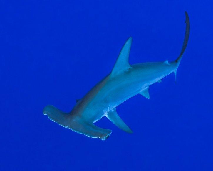 Scubatravel, Shark Quest, Hammerhead shark, Shooting sharks with ambient light