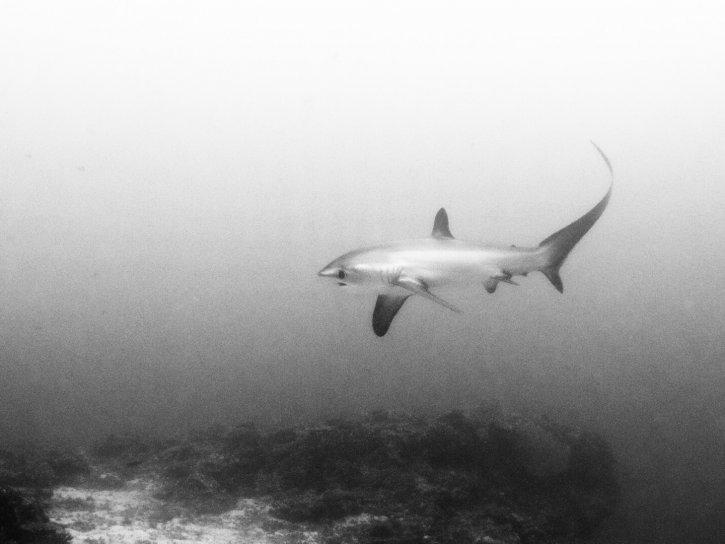 Scubatravel, Shark Quest, Thresher shark