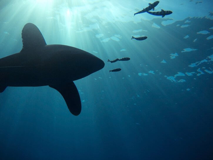 Scubatravel, Shark Quest, Oceanic Whitetip, Shooting sharks with ambient light