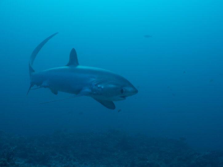 Scubatravel, Shark Quest, Thresher shark, Shooting sharks with ambient light