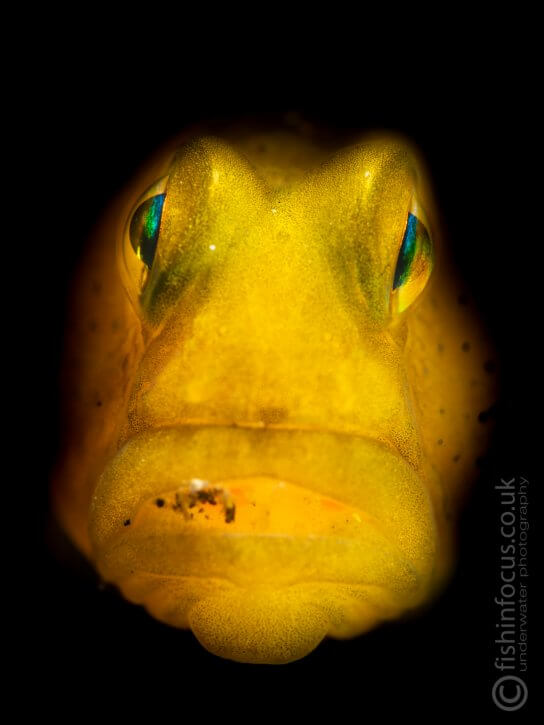 Scuba Travel, Critters in Lembeh, goby