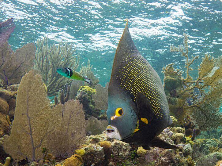 Scuba Travel, Belize, french angelfish