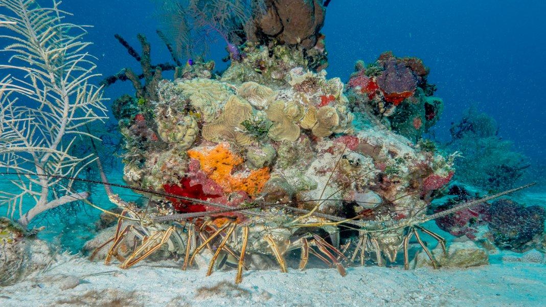 Scuba Travel, Belize, lobster