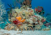 Scuba Travel, Belize, lobster