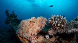 Scuba Travel, scorpionfish, the Barge, Red Sea,Egypt