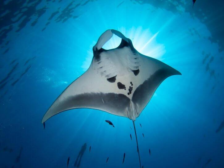 Scuba Travel, The Maldives, diving holiday, Manta