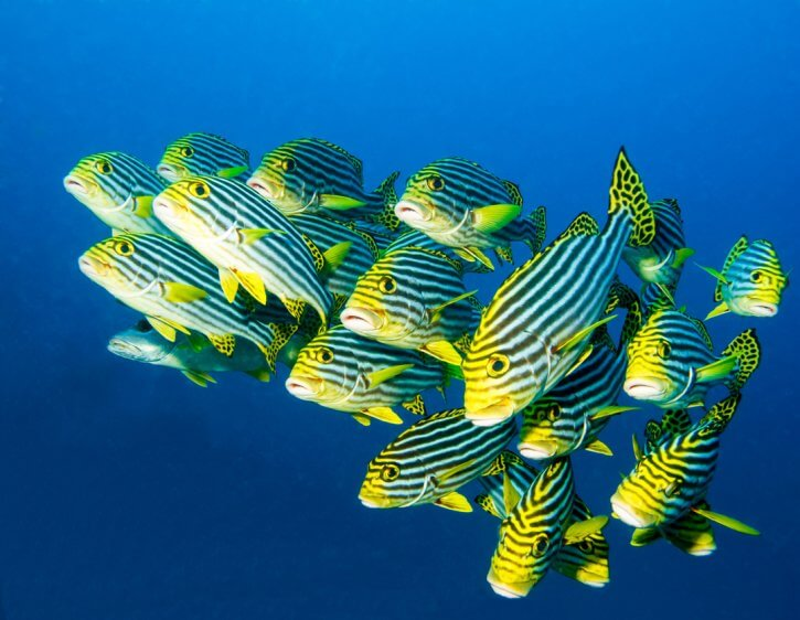 Scuba Travel, The Maldives, diving holiday, sweetlips