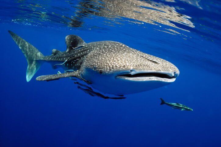 Scuba Travel, The Maldives, diving holiday, whaleshark