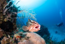 Scuba Travel, diving holidays, Caribbean, Grouper
