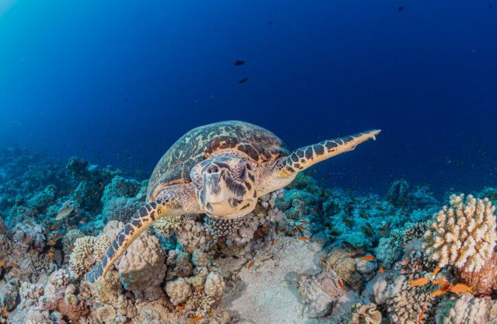 Scuba Travel, Diving holidays, Red Sea, Egypt, Tiran, turtle