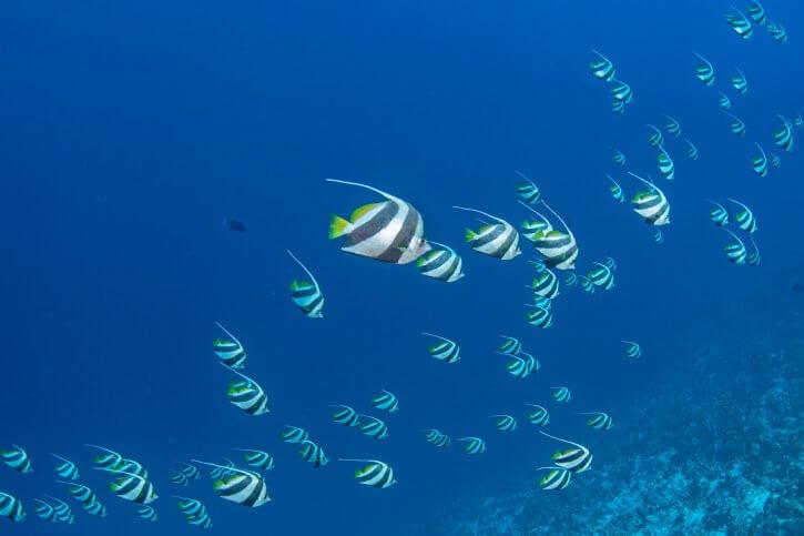 Scuba Travel, Diving holidays, Red Sea, Egypt, Tiran, bannerfish