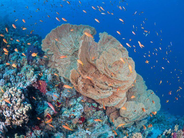 Scuba Travel, Diving holidays, Red Sea, Egypt, Tiran, seafan