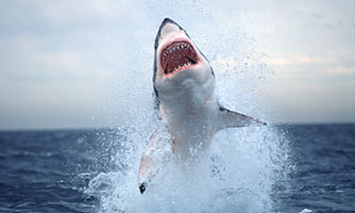 Great White Experience