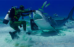 Hammerhead and Tiger Shark Experience