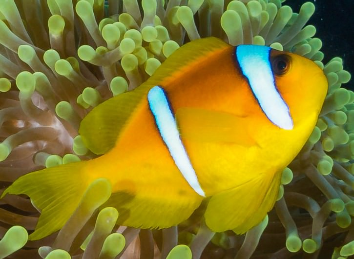 1:1 Crop of furthest Clownfish, showing adequate sharpness from centrally placed subjects.